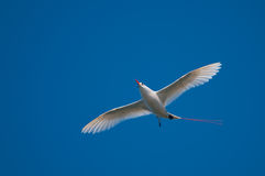 Red-tailed Tropicbird. (Phaeton rubricaudra) flying overhead on Lord Howe Island, Australia Royalty Free Stock Image