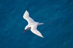 Red-tailed Tropicbird. Overhead view of Red-tailed Tropicbird (Phaeton rubricaudra) on Lord Howe Island, Australia Royalty Free Stock Images