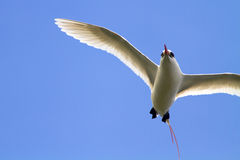 Red-Tailed Tropicbird in Flight Royalty Free Stock Image