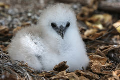 Red-tailed Tropicbird Fluffy Chick. Red-tailed Tropicbird chick in the nest. Christmas Island, Kiribati Royalty Free Stock Images