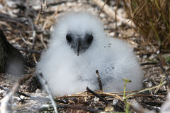Red-tailed Tropicbird Fluffy Chick. Red-tailed Tropicbird chick in the nest. Christmas Island, Kiribati Stock Images