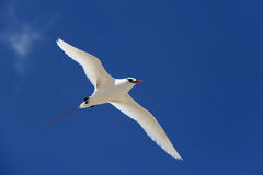 Red-tailed Tropicbird. Flying Red-tailed Tropicbird. Christmas Island, Kiribati Royalty Free Stock Images