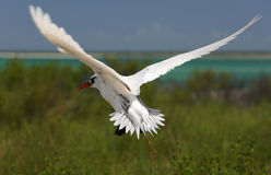 Red-tailed Tropicbird. Stock Photography