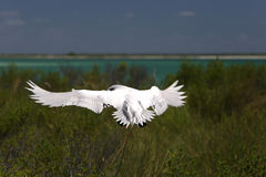 Red-tailed Tropicbird. Is landing to the nest in the bushes. Christmas Island, Kiribati Stock Photos