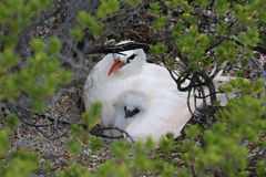 Red-tailed Tropicbird Mother with a Chick. Royalty Free Stock Photo