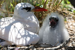 Red-tailed Tropicbird Mother with a Chick. Under the bush. Christmas Island, Kiribati Stock Image
