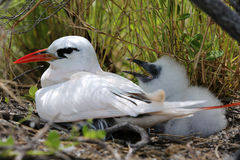 Red-tailed Tropicbird Mother with a Chick. Stock Photos