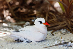 Red-tailed tropicbird. Nesting on Honeymoon island at Aitutaki, Cook Islands Stock Photography