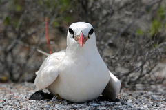 Red-tailed Tropicbird. Nesting. Christmas Island, Kiribati Royalty Free Stock Photography