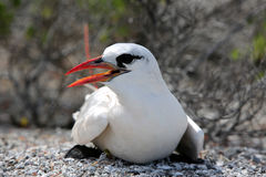 Red-tailed Tropicbird. Nesting.Christmas Island, Kiribati Stock Photos