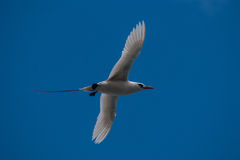 Red-tailed Tropicbird. (Phaethon rubricauda) in flight off Norfolk Island Royalty Free Stock Images