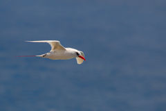Red-tailed Tropicbird Phaethon rubricauda. In flight over Kilauea Point, the northernmost point of Kauai, Hawaii, USA Royalty Free Stock Photography