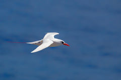Red-tailed Tropicbird Phaethon rubricauda. In flight over Kilauea Point, the northernmost point of Kauai, Hawaii, USA Stock Image
