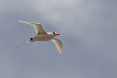 Red-tailed Tropicbird Phaethon rubricauda Royalty Free Stock Photos