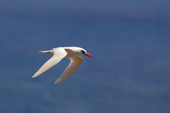 Red-tailed Tropicbird Phaethon rubricauda Stock Photography