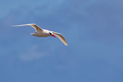 Red-tailed Tropicbird Phaethon rubricauda Stock Photos