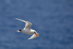 Red-tailed Tropicbird Phaethon rubricauda Royalty Free Stock Image