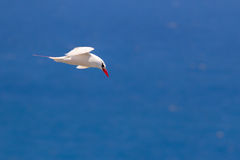 Red-tailed Tropicbird Phaethon rubricauda. In flight over Kilauea Point, the northernmost point of Kauai, Hawaii, USA Stock Photography