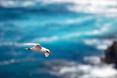 Red-tailed Tropicbird Phaethon rubricauda. In flight over Kilauea Point, the northernmost point of Kauai, Hawaii, USA Royalty Free Stock Image