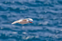Red-tailed Tropicbird Phaethon rubricauda. In flight over Kilauea Point, the northernmost point of Kauai, Hawaii, USA Stock Photo