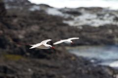 Red-tailed Tropicbird Phaethon rubricauda. In flight over Kilauea Point, the northernmost point of Kauai, Hawaii, USA Stock Photos