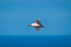 Red-tailed Tropicbird (Phaeton rubricaudra) in flight. Side view of Red-tailed Tropicbird (Phaeton rubricaudra) flying over cliffs at Malabar on Lord Howe Island Royalty Free Stock Photos