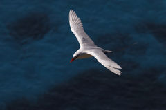 Red-tailed Tropicbird 2 Royalty Free Stock Photos
