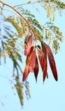 Red tamarind pods Stock Photo