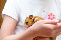 Red tame hamster in the hands Stock Images