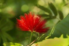 Red tassel flower stock images