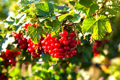 Red tasteful berries Stock Photography