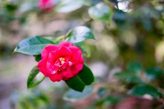 Red tea flower in Japanese Tea Garden. Japanese Tea Garden, Golden Gate Park, San Francisco, California: 03/23/2018 stock image