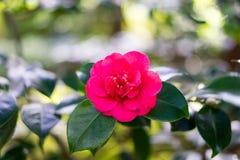 Red tea flower in Japanese Tea Garden. Japanese Tea Garden, Golden Gate Park, San Francisco, California: 03/23/2018 stock photo