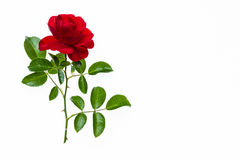 Red tea rose in bloom isolated on white background Stock Image