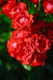 Red tea rose flower Royalty Free Stock Images
