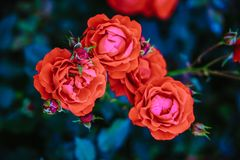 Red tea rose flower Stock Photo