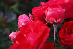 Red roses are blooming in the garden. Red tea roses are blooming in the garden Royalty Free Stock Photography