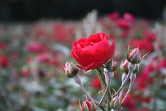 Red roses are blooming in the garden. Red tea roses are blooming in the garden Stock Image
