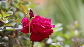 Red tea roses are blooming in the garden. stock footage