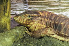 Red tegu Stock Photography