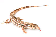 Red Tegu Stock Photos