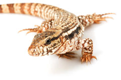 Red Tegu Stock Images