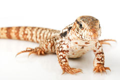 Red Tegu Royalty Free Stock Photos