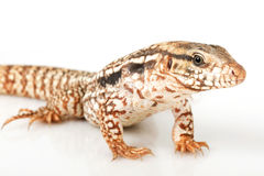 Red Tegu Stock Image