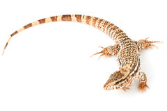 Red Tegu Royalty Free Stock Photography