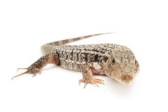 Red Tegu Royalty Free Stock Images