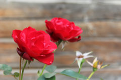 Red tender roses Royalty Free Stock Image