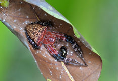 Red tent spider prey the beetle. Red tent spider preying the beetle on leaf stock images