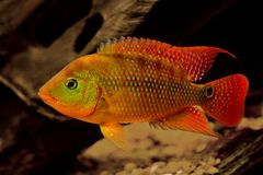 Red Terror. A red terror american cichlid stock images