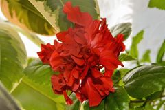 Red terry chinese hibiscus flower royalty free stock photos